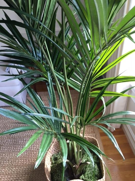 Kentia Palm Tree